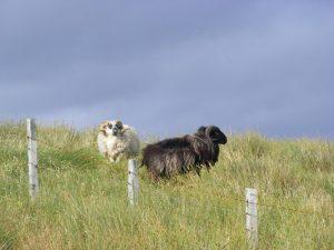 Black sheep white sheep Isle of Lewis